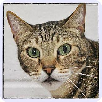 Bengal Cat for adoption in Salem, Massachusetts - Rajah
