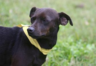 Chihuahua Mix Dog for adoption in Sugarland, Texas - Xena *video
