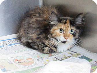 Domestic Mediumhair Kitten for adoption in Windsor, Virginia - Matilda