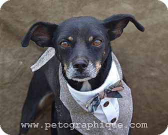Chihuahua Mix Dog for adoption in Las Vegas, Nevada - Pepe