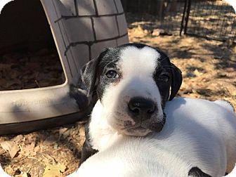 Pit Bull Terrier/Labrador Retriever Mix Puppy for adoption in Lodi, California - Julie