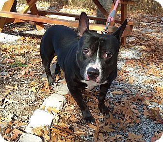 Pit Bull Terrier/Boston Terrier Mix Dog for adoption in Washingtonville, New York - Titan