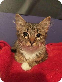 Domestic Shorthair Kitten for adoption in Hampton, Virginia - GRETEL