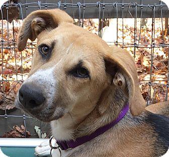 German Shepherd Dog/Hound (Unknown Type) Mix Dog for adoption in Big Canoe, Georgia - Callie