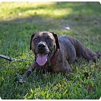 Adopt A Pet :: Petra - Austin, TX