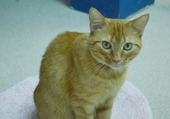 Domestic Shorthair/Domestic Shorthair Mix Cat for adoption in Evansville, Indiana - Cheddar