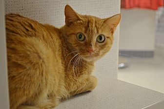 Domestic Shorthair Cat for adoption in Evansville, Indiana - Cheddar