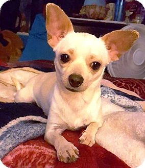 Chihuahua Mix Dog for adoption in Federal Way, Washington - Cookie - Sweet little Love Bug
