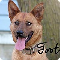 Adopt A Pet :: Tootsie - Joliet, IL