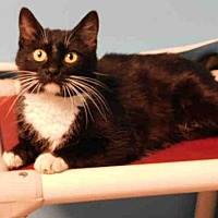 Domestic Mediumhair Cat for adoption in Belleville, Illinois - JEWELS