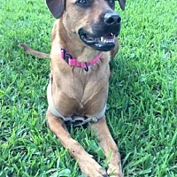 Rhodesian Ridgeback Mix Dog for adoption in Loxahatchee, Florida - Kimmi