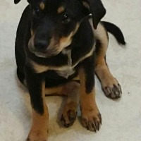 Shepherd (Unknown Type)/Rottweiler Mix Puppy for adoption in Racine, Wisconsin - Christian Gray