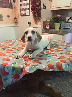 Labrador Retriever/Hound (Unknown Type) Mix Puppy for adoption in Kittery, Maine - Lacey