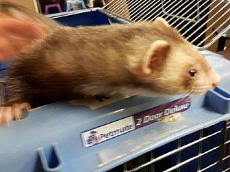 Ferret for adoption in Edmonton, Alberta - Freya