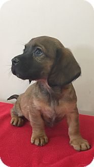 Dachshund Mix Puppy for adoption in Mt Sterling, Kentucky - Delta