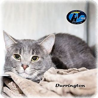 Domestic Shorthair Cat for adoption in Howell, Michigan - Darrington