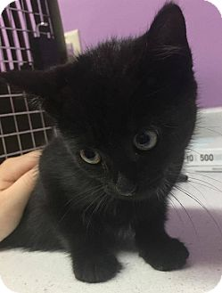 Domestic Shorthair Kitten for adoption in Orleans, Vermont - 3 Musketeers