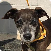 Italian Greyhound/Terrier (Unknown Type, Medium) Mix Dog for adoption in Winchester, Tennessee - Wilder