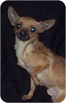 Chihuahua Dog for adoption in Cabool, Missouri - Buster Boy