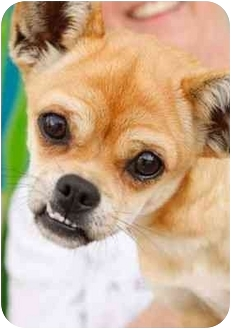 Chihuahua/Pug Mix Dog for adoption in Los Angeles, California - TOPEKA