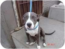American Pit Bull Terrier Puppy for adoption in Bellflower, California - Beth