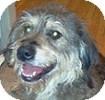Wheaten Terrier Mix Dog for adoption in Hamilton, Ontario - Lilly