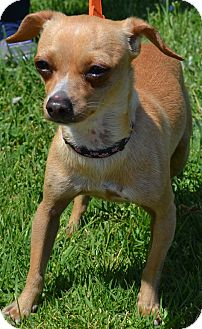 Chihuahua Mix Dog for adoption in Simi Valley, California - Minny