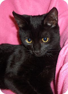 Domestic Shorthair Kitten for adoption in Richmond, Virginia - Gizmo