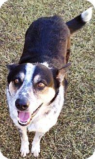 Australian Shepherd Mix Dog for adoption in Gilbert, Arizona - Sydney