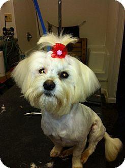 Maltese Puppy for adoption in Lexington, Kentucky - Noel