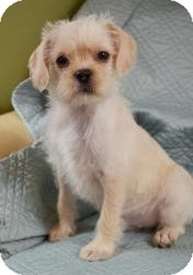 Terrier (Unknown Type, Small) Mix Puppy for adoption in Minneapolis, Minnesota - Martin