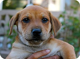 Labrador Retriever Mix Puppy for adoption in Los Angeles, California - Tank