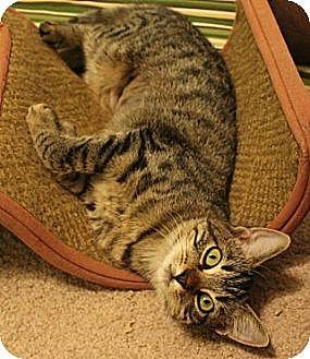 Domestic Shorthair Kitten for adoption in Pensacola, Florida - Kaylee