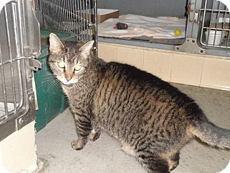 Domestic Shorthair Cat for adoption in Craig, Colorado - Mic