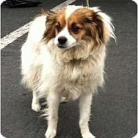 Adopt A Pet :: Lucas - FOSTER NEEDED - Seattle, WA