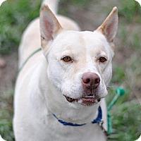 German Shepherd Dog/American Pit Bull Terrier Mix Dog for adoption in Dodson, Montana - Balto