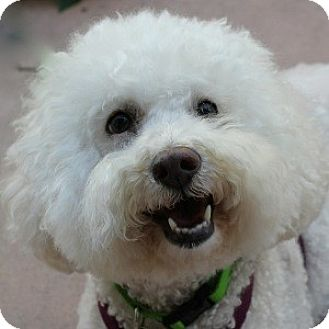 Bichon Frise Mix Dog for adoption in La Costa, California - Chanel