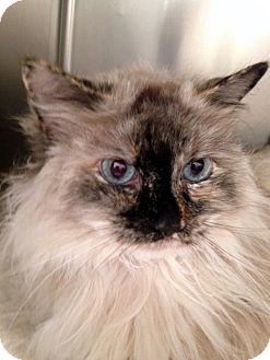 Himalayan Cat for adoption in Las Vegas, Nevada - Dakota