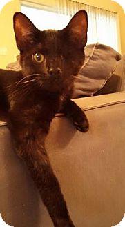 Manx Kitten for adoption in Gainesville, Florida - Lady Catulet