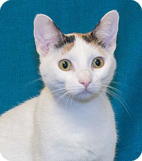 Domestic Shorthair Cat for adoption in Elmwood Park, New Jersey - Leila
