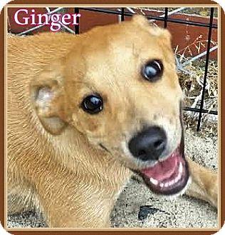 Labrador Retriever Mix Puppy for adoption in Ahoskie, North Carolina - Ginger