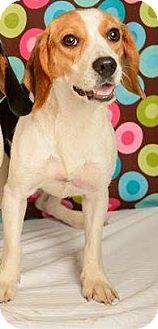 Beagle Dog for adoption in Baton Rouge, Louisiana - Phoebe