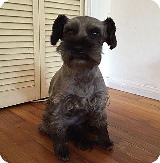 Schnauzer (Miniature) Mix Dog for adoption in Redondo Beach, California - Tippy