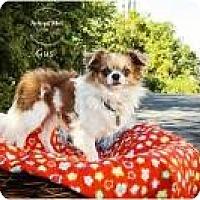 Adopt A Pet :: Gus - Shawnee Mission, KS