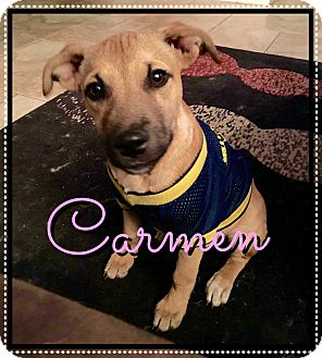 Black Mouth Cur/Shepherd (Unknown Type) Mix Puppy for adoption in Phoenix, Arizona - Carmen