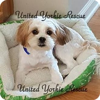 Yorkie, Yorkshire Terrier/Shih Tzu Mix Puppy for adoption in Indianapolis, Indiana - Teddy
