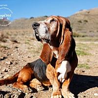 Adopt A Pet :: Barrett - Acton, CA
