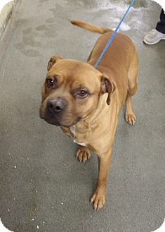 Boxer/Terrier (Unknown Type, Medium) Mix Dog for adoption in Greensboro, North Carolina - Klyde