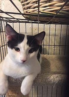American Shorthair Kitten for adoption in Scottsdale, Arizona - Disco