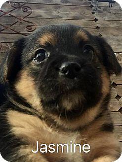 Canaan Dog/Terrier (Unknown Type, Medium) Mix Puppy for adoption in Wichita Falls, Texas - Jasmine
